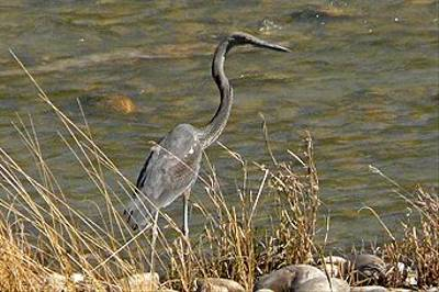 White-bellied Heron by Michael Ball