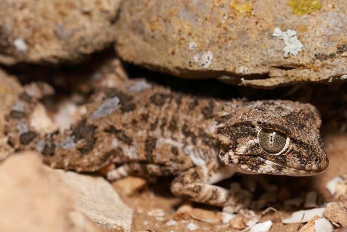Helmeted gecko (Tarentola chazaliae) - Dan Kane