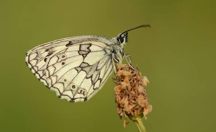 Marbled White, Somerset, UK shutterstock_1641656458.jpg