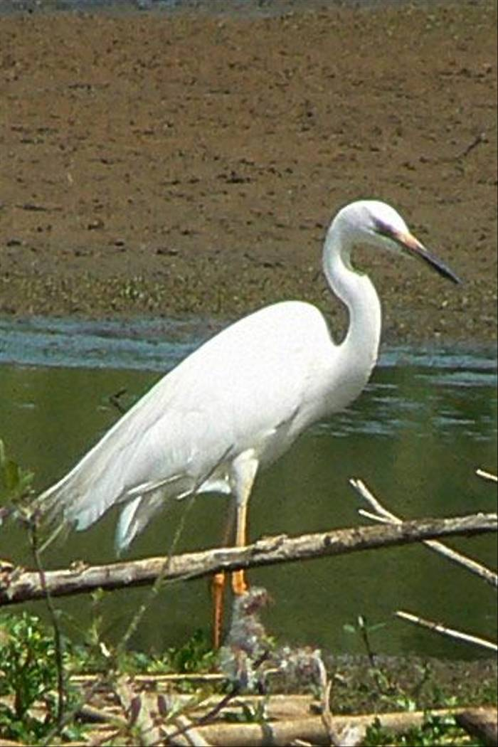 Great White Egret (Ian Nicholson)