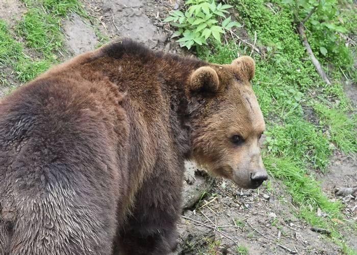 European Brown Bear, Spain shutterstock_1423502654.jpg