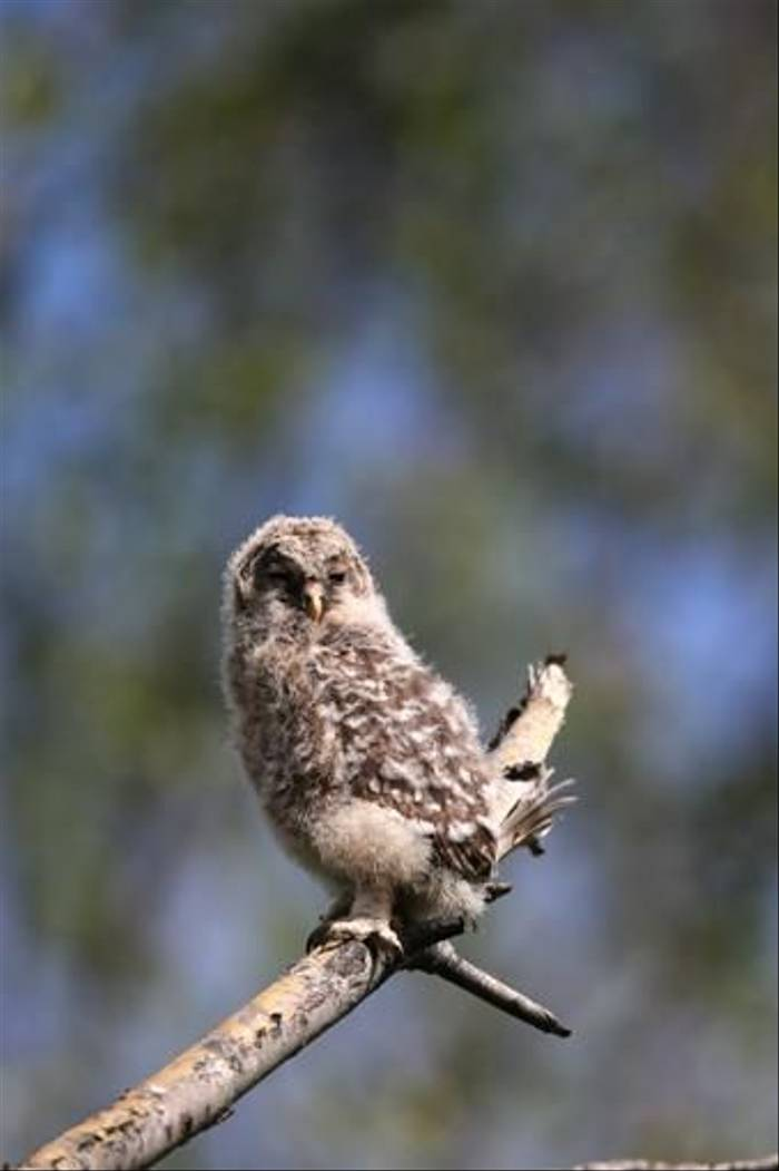 Ural Owl chick (Gordon Small)