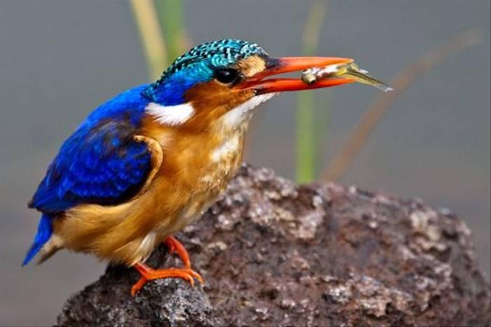 Malachite Kingfisher (Dani Free)