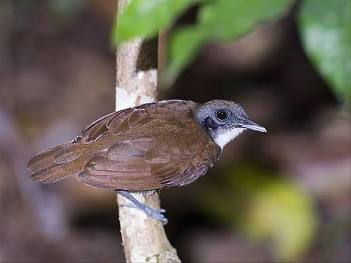 Bicoloured Antbird (David Tipling)