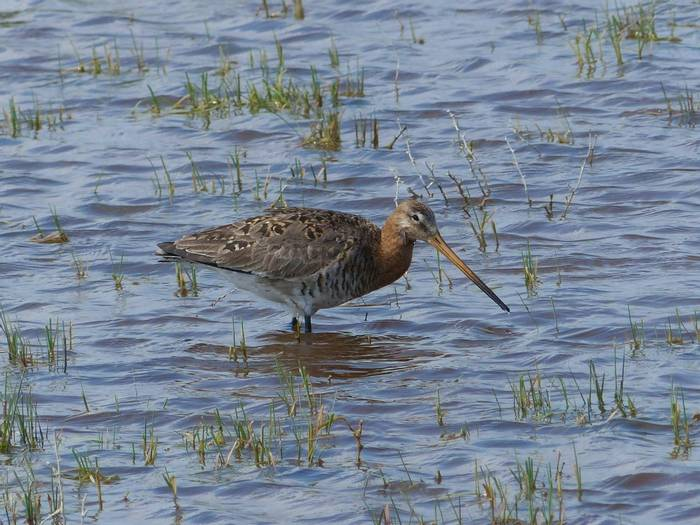 Black-tailed Godwit (Dave Smallshire)