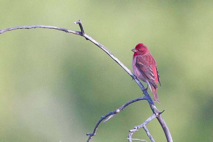 Common Rosefinch (Alan Curry)