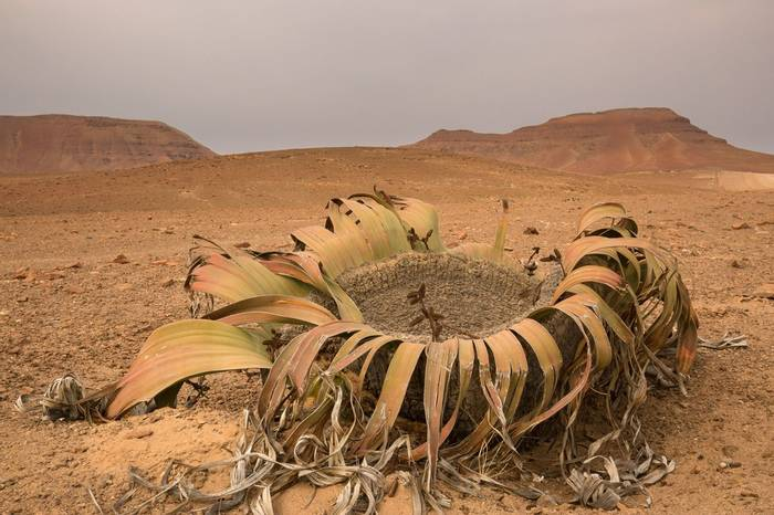 Welwitschia (Welwitschia Mirabilis), Skeleton Coast © R Harvey