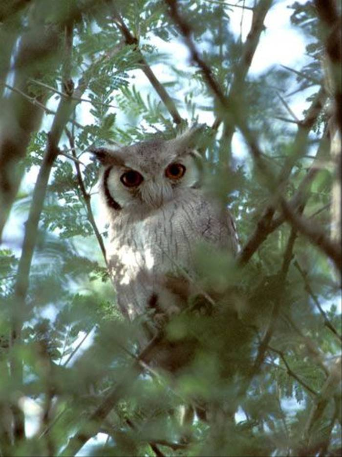 White-faced Scops Owl (Julia Casson)