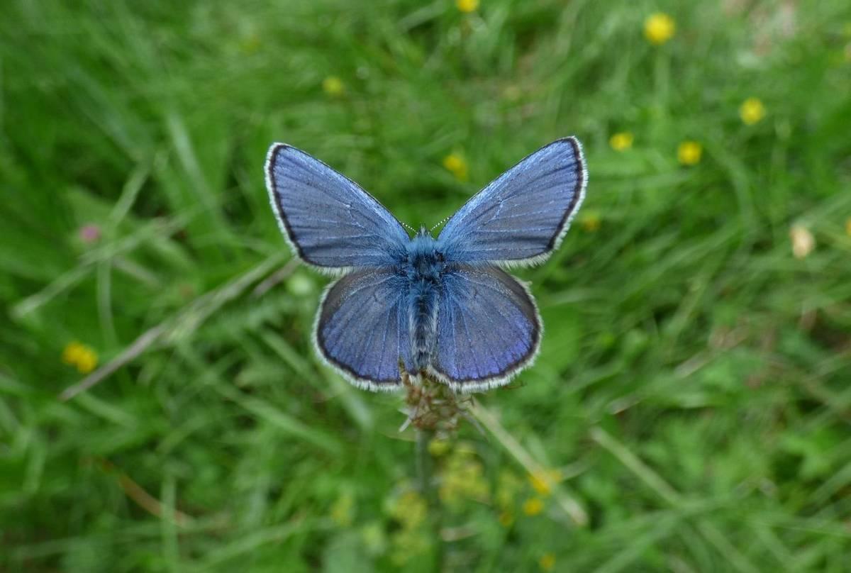 Alpine Blue male by Alan Miller