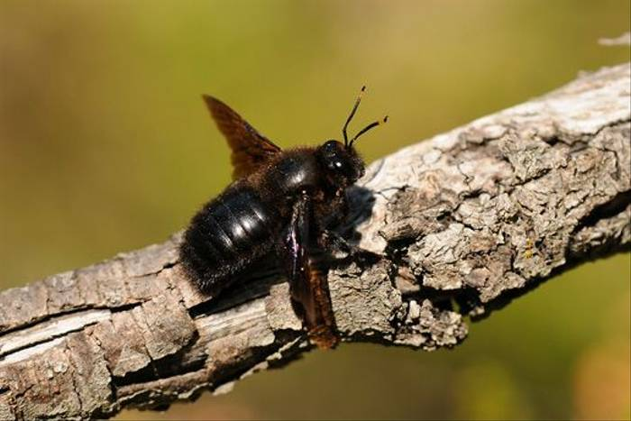 Violet Carpenter Bee (David Morris)