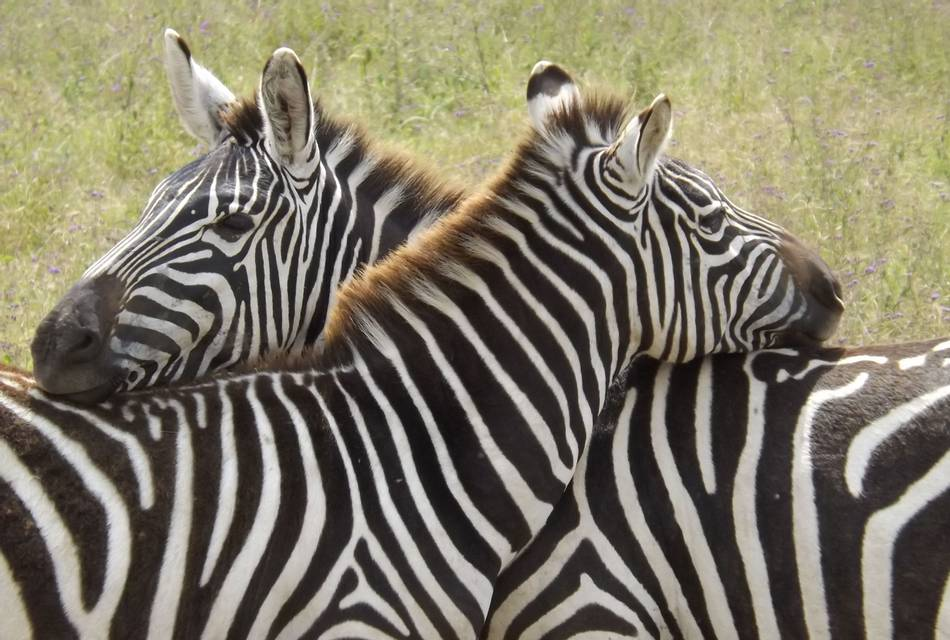 Whilst on our African Overland safari we saw Zebras cuddling