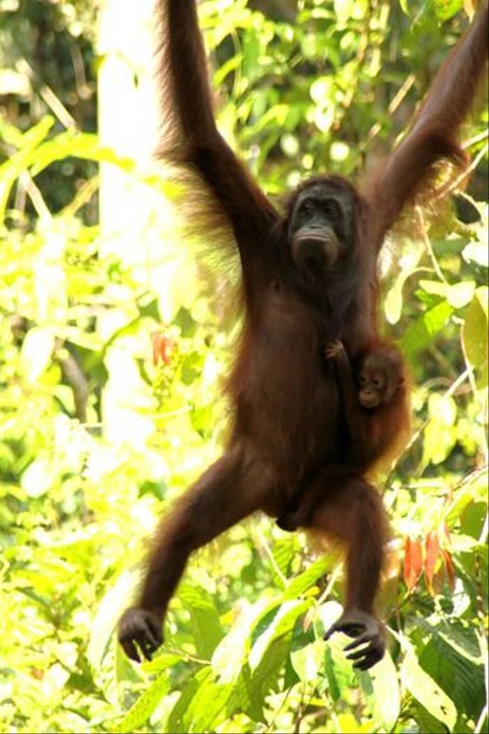 Orang-utan (Janice Fiske)