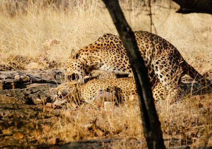 Leopards Mating - Ranthampore  (Neil Pont)