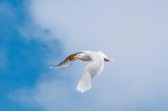 Glaucous Gull Shutterstock 1186281400