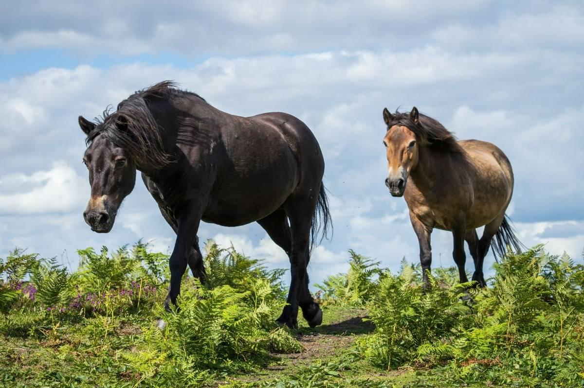 Selworthy - Ponies - AdobeStock_182095092.jpeg