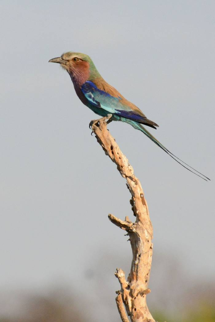 Lilac Breasted Roller (Rob Thatcher)