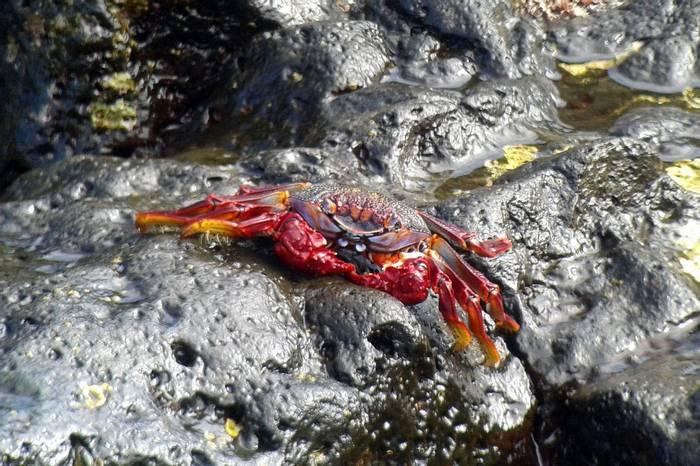 Red Rock Crab © Tom Mabbett