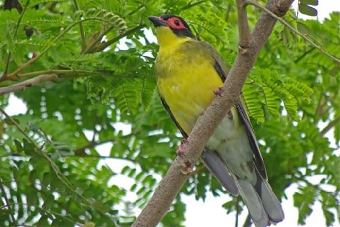 Figbird (Phil Shaw)