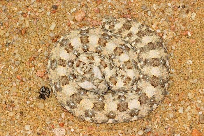 Horned Adder (Bitis caudalis)