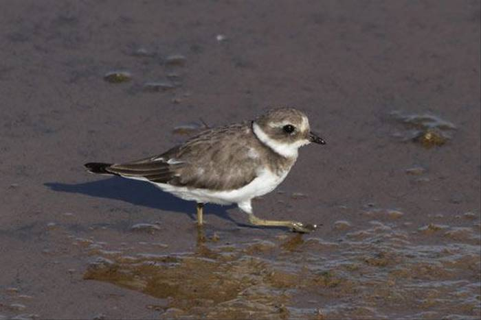 Little Ringed Plover (John Crispin)