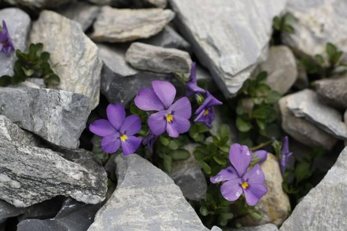 Viola cenisia (Kerrie Porteous)