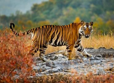 India - Tiger Marathon