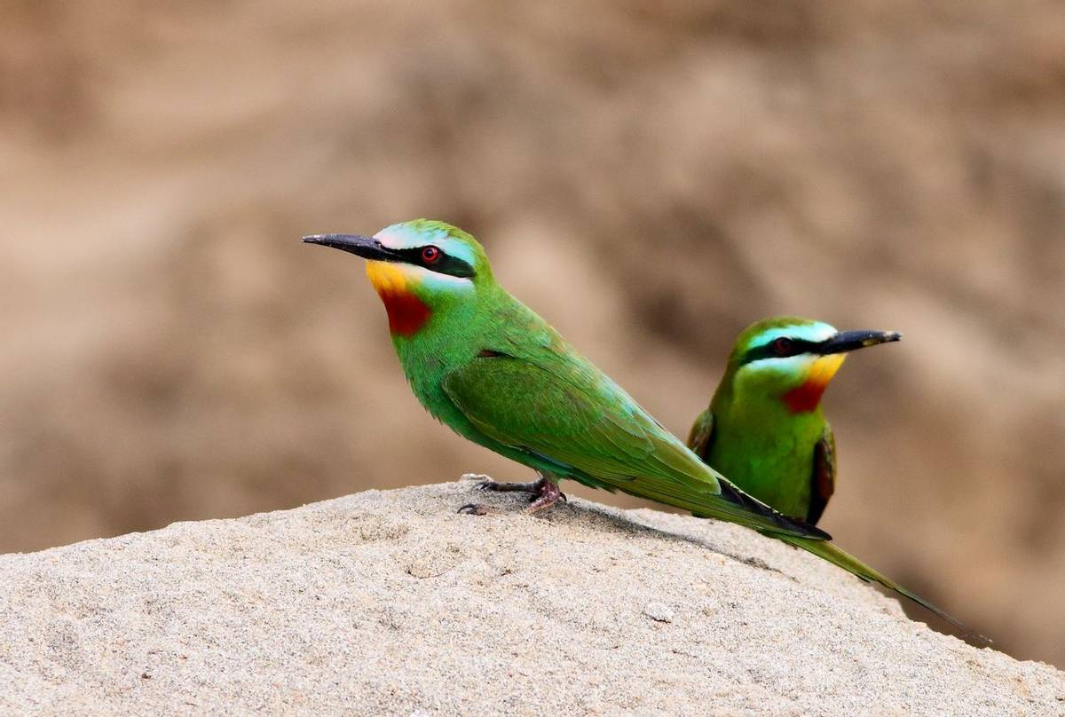 Blue Cheeked Bee Eater Shutterstock 223729921
