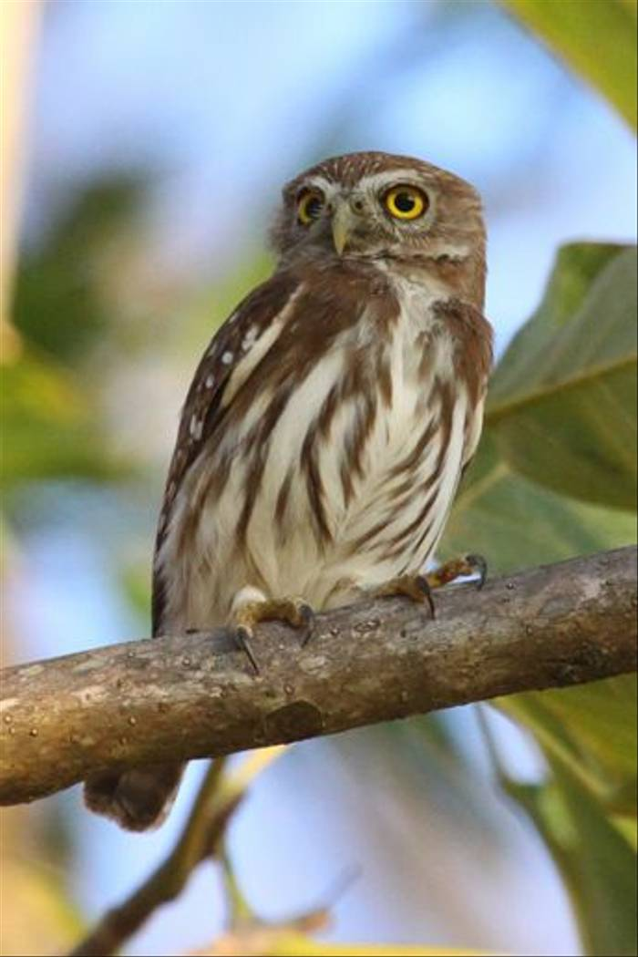 Ferruginous Pygmy Owl, Costa Rica (Reagan Smith)