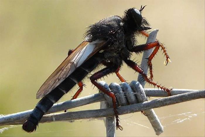 Robber-fly (William Lintott)