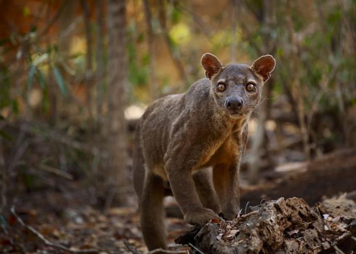 Fosa, Madagascar Shutterstock 169578458