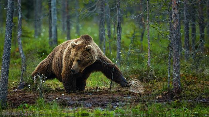 Brown Bear (Will McGugan)