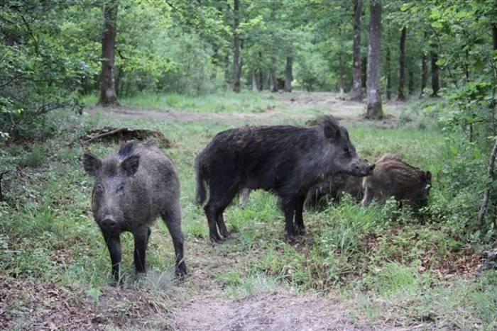 Wild Boar (Gerald Broddelez)