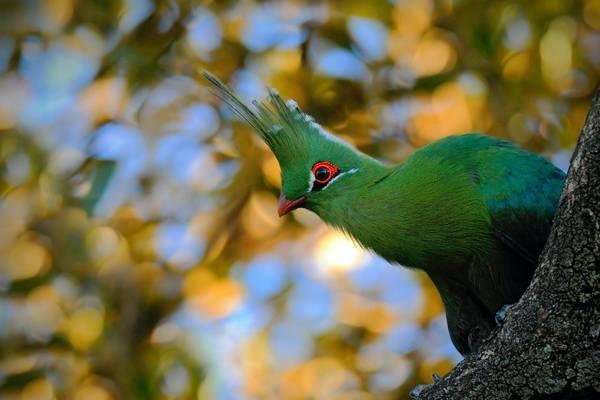 Green Turaco Shutterstock 494022415