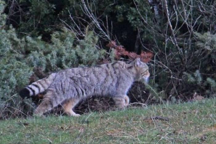 Wildcat, Navarra (Jennifer Horn)