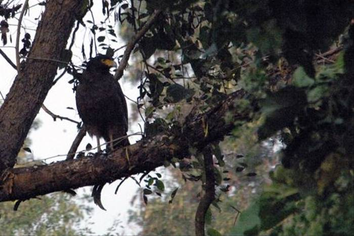 Crested Serpent Eagle (Anne Woodhouse)
