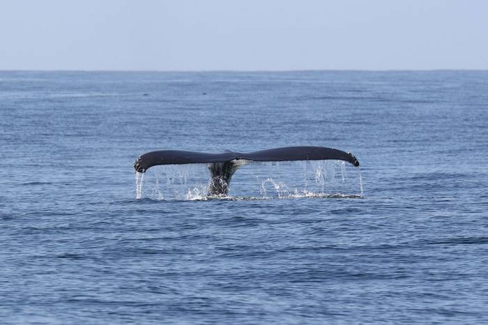 Humpback Whale (Brian West)