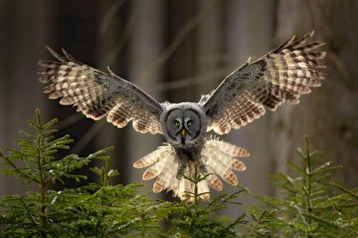 Great Grey Owl Shutterstock 470385899