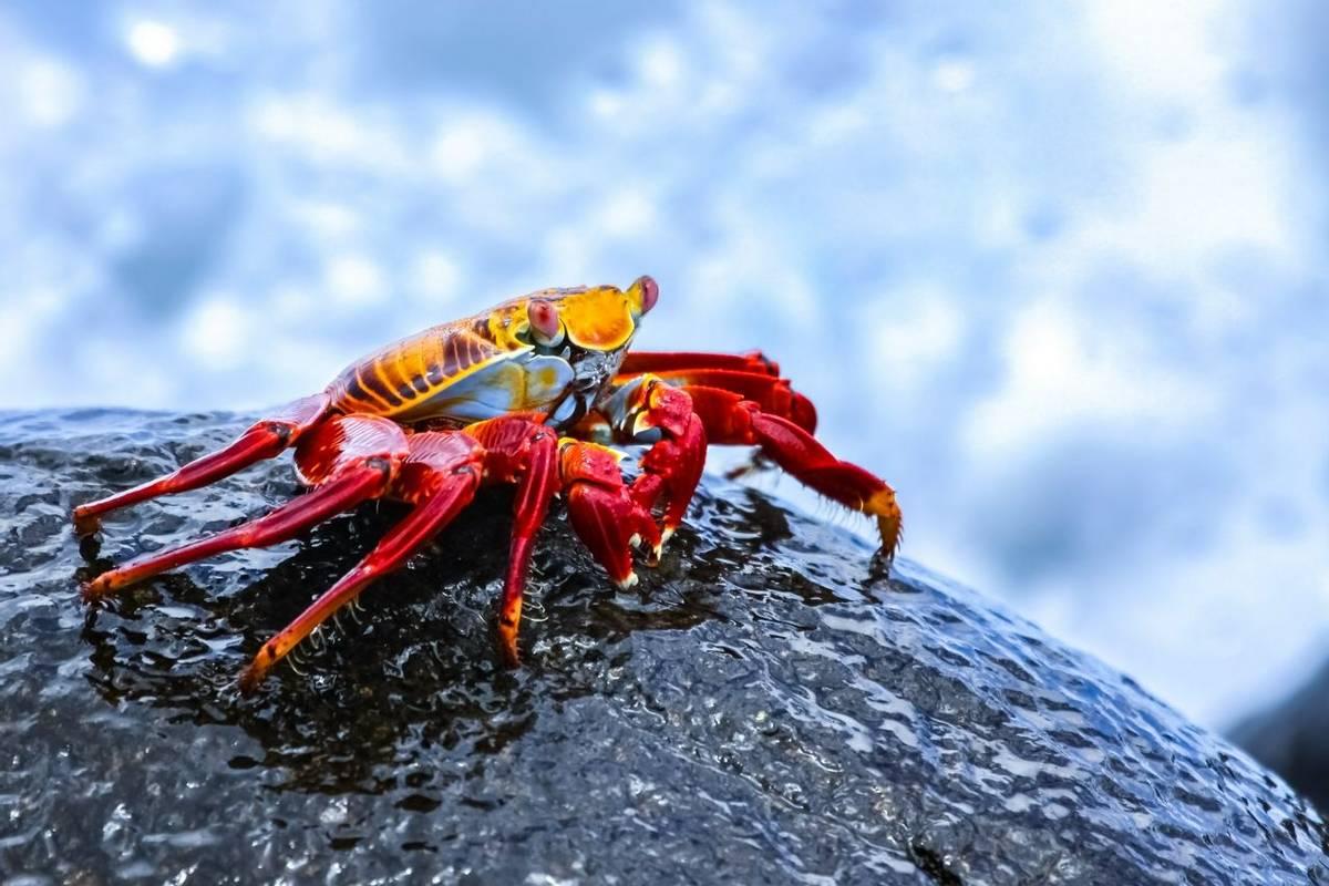 Galapagos-SallyLightfootCrab-AdobeStock_140667956.jpeg