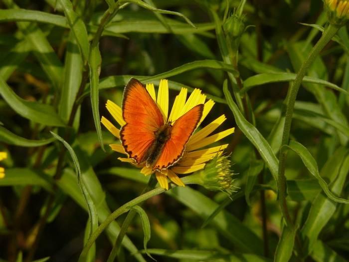 Large copper butterfly Lycaena dispar Vercors massif, France shutterstock_80814451.jpg