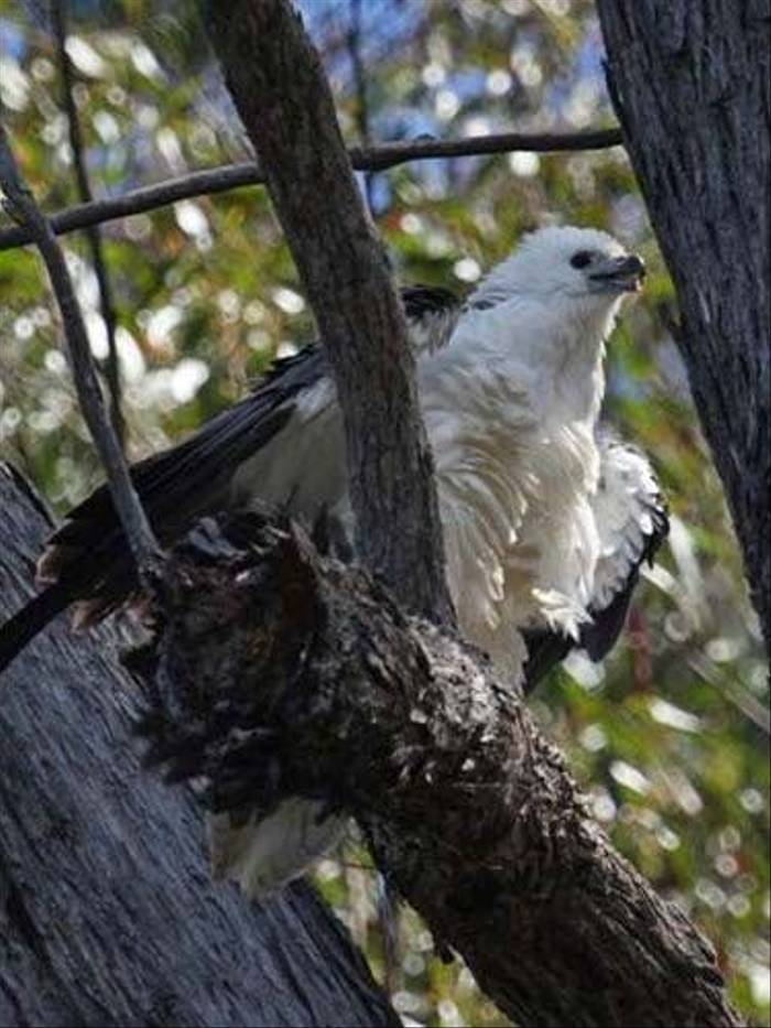 White-bellied Sea Eagle (Susan Jenkins)