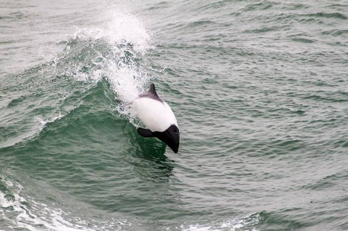 Commerson'S Dolphin Shutterstock 271340036