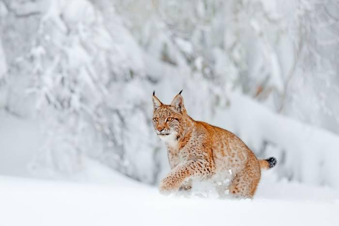 Eurasian Lynx shutterstock_1286762098.jpg