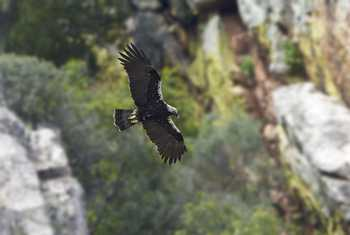 Spanish Imperial Eagle, Spain shutterstock_513359944.jpg
