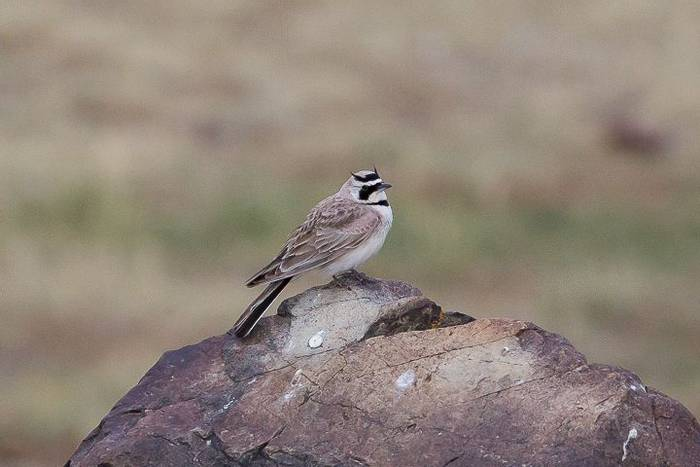 Horned Lark (Alan Curry)