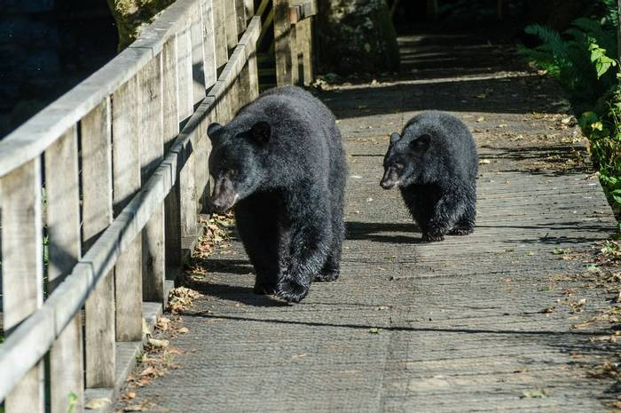 Black Bears (Tim Melling)