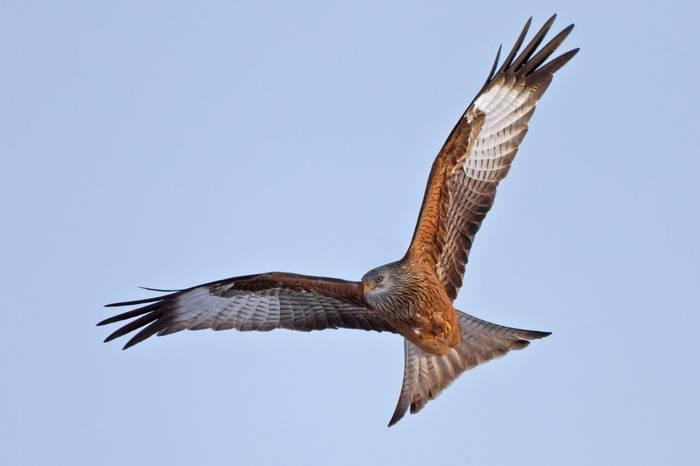 Red Kite shutterstock_68520190.jpg