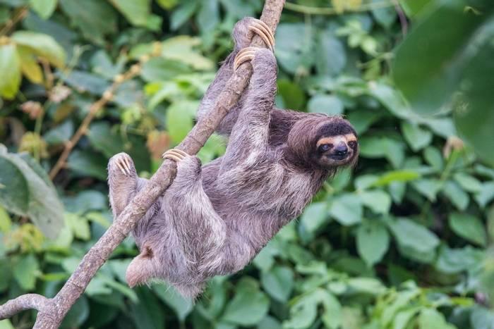 Three-toed Sloth (Ian Talboys)