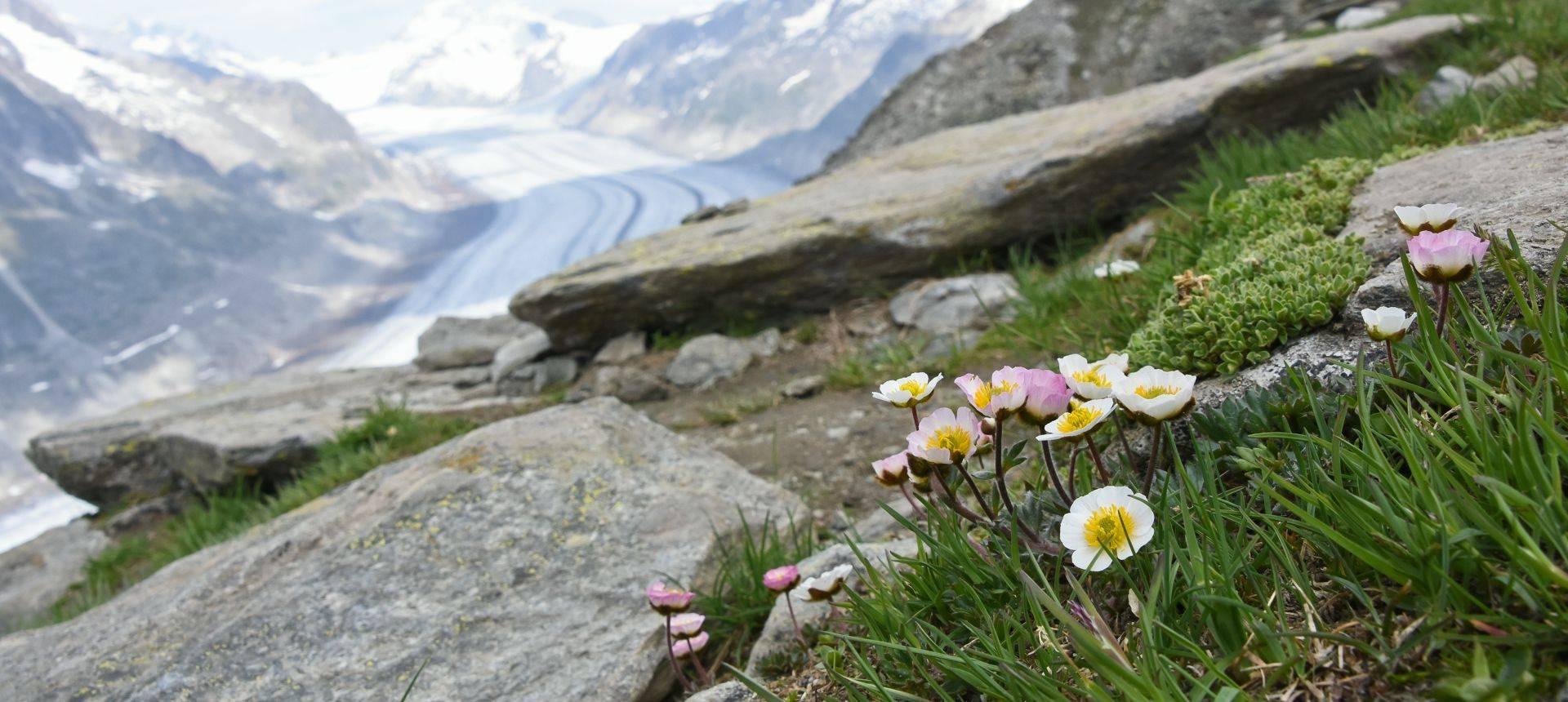 Glacier Crowfoot (Ranunculus glacialis)