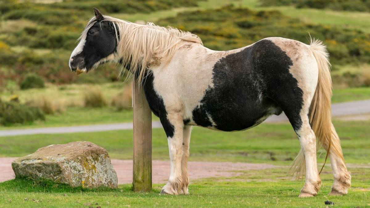 Wild horses near Hay Bluff and Twmpa, Black Mountains, Brecon Beacons, Powys, Wales, UK