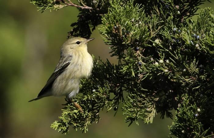Blackpoll Warbler (autumn plumage, USA shutterstock_1316079182.jpg